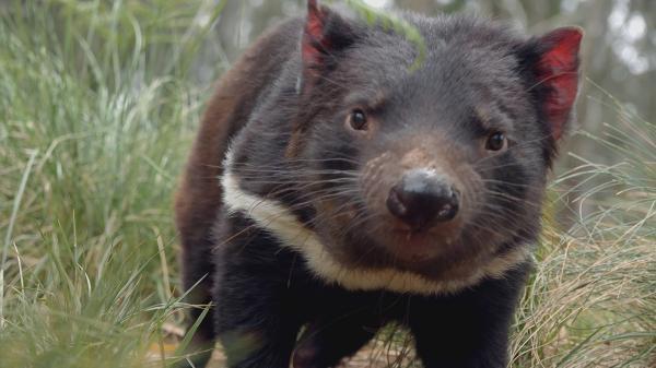 Tajný život tasmánských čertů
