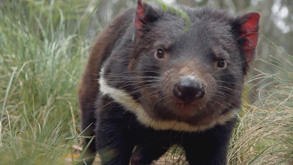 Dokument Tajný život tasmánských čertů