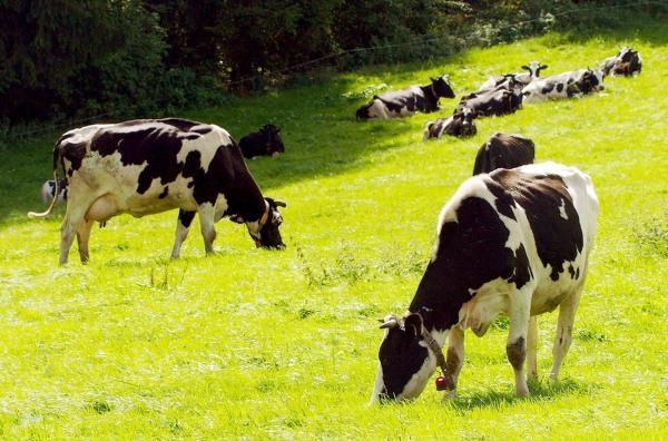 Sekretne życie krów