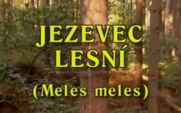 Jezevec lesní