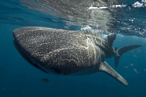 Dokument Žralok obrovský