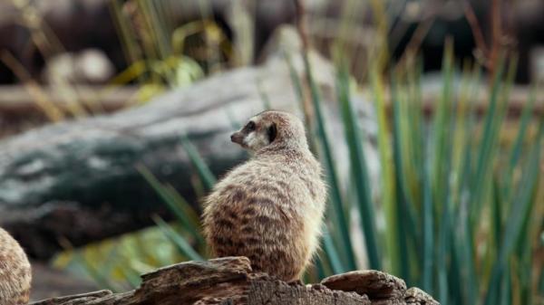 Dokument Příroda kolem nás: surikata a labuť