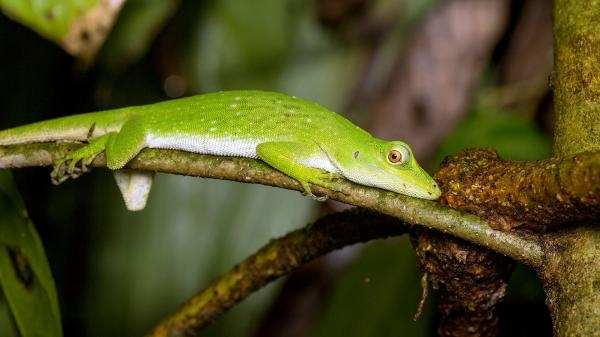 Geheimnisvolle Leguane