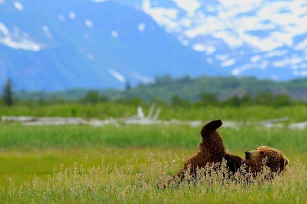 Medvědi grizzly na Aljašce