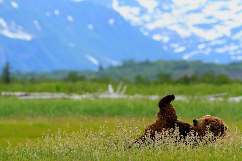 Documentary Medvědi grizzly na Aljašce