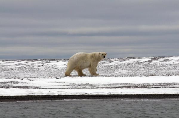Documentary Velké hody ledního medvěda
