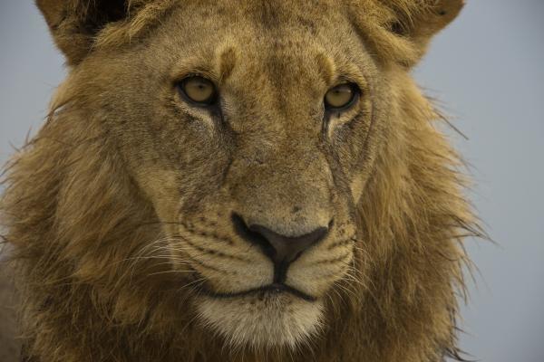 Lví boje o život a území
