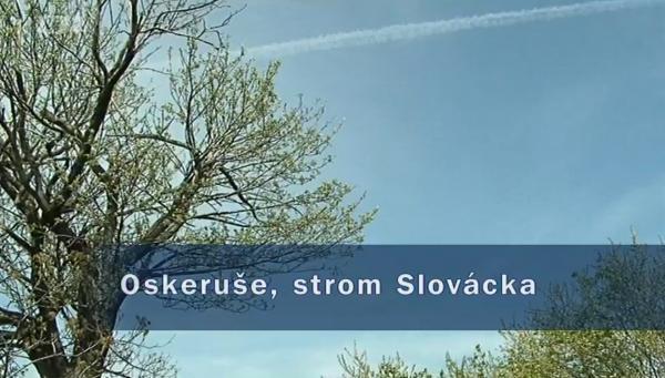 Oskeruše, strom Slovácka