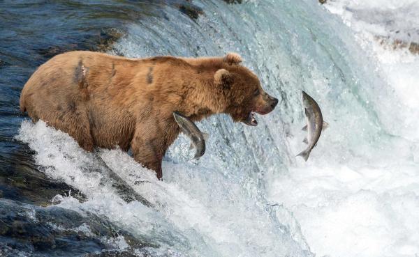 Dokument Medvědi na Aljašce