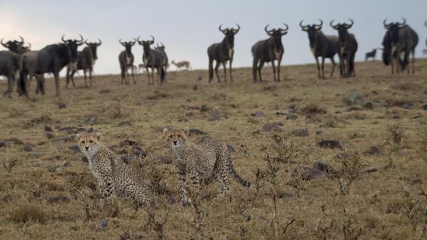 Dokument Člověk mezi gepardy