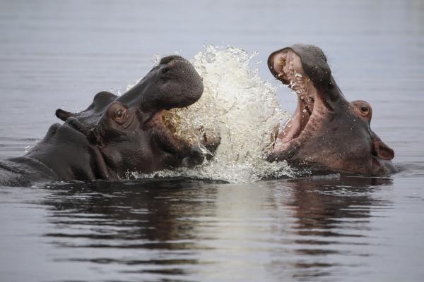 Dokument Hroši z delty Okavanga
