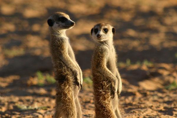 Dokument Kráľovstvo surikát: príbeh začína
