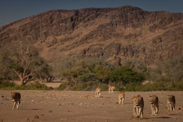 Dokument Lvi z Namibijské pouště