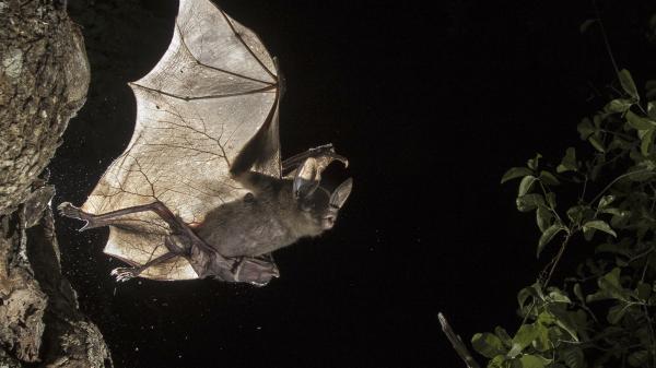 Dokument Velcí masožraví netopýři