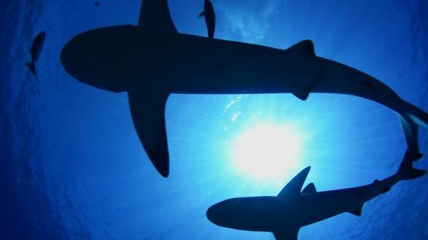 Morski psi Izgubljenog otoka