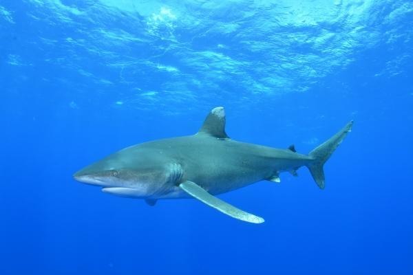 Po stopách žraloka zabijáka