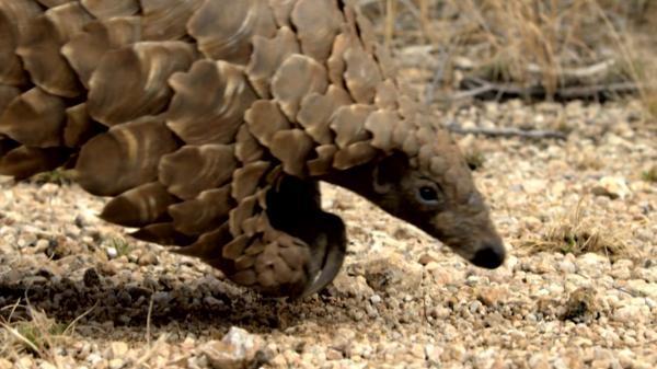 Dokument Luskoun: Nejžádanější zvíře světa