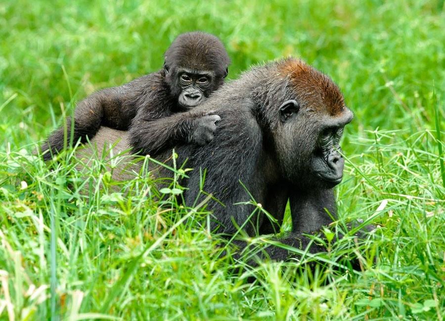 Dokument Gorily mezi Prahou a Afrikou