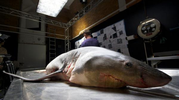 Dokument Žralok bílý: Signál k útoku