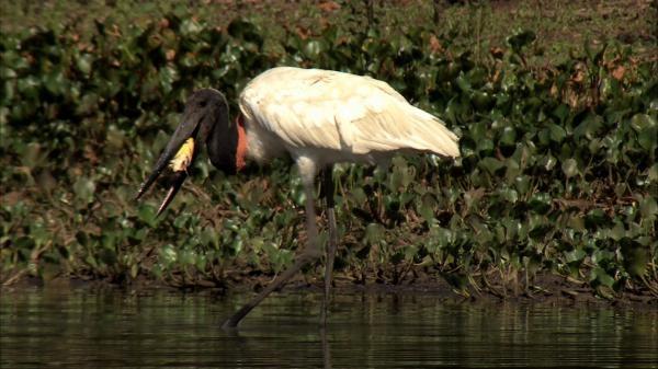 Tajemná Brazílie - Divoký Pantanal