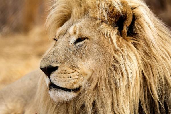 Dokument Lví skála – návrat krále