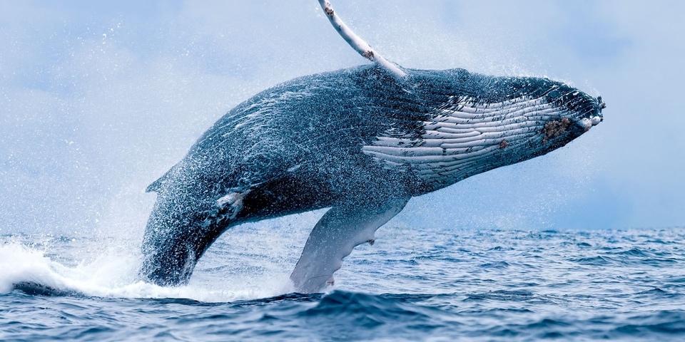 Dokument Zaříkávačka velryb