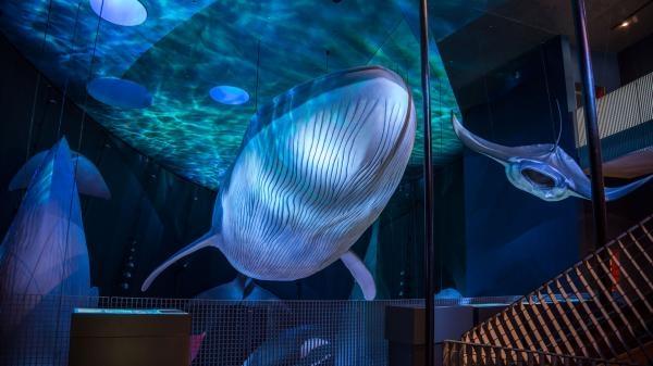 Dokument Riemenfische - Riesen der Meere
