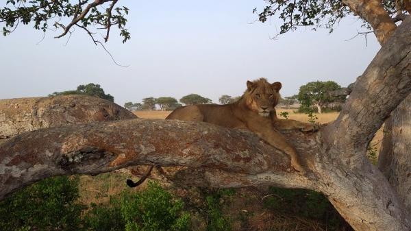 Lvi na stromech