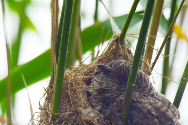 Kukačka: Vetřelec v hnízdě