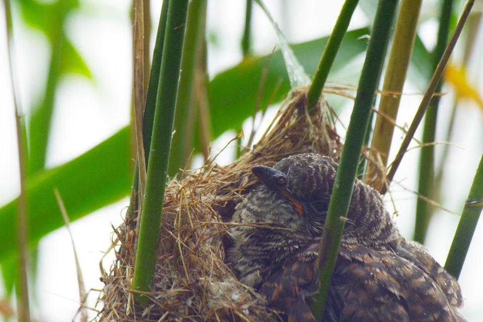Dokument Kukačka: Vetřelec v hnízdě