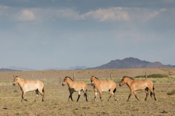 Dokument Pomáháme jim přežít : Divocí koně a velbloudi