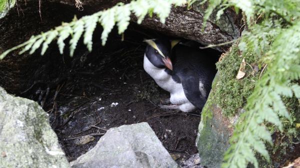 Dokument Novozélandští tučňáci